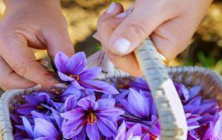 Woman picks saffron flowers basket